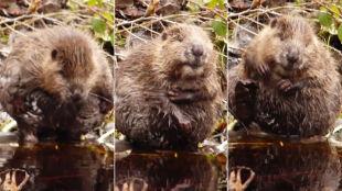 Wiosenna kąpiel bobra. Od tego nagrania trudno oderwać wzrok